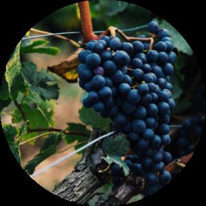 Vineyard-iloveimg-compressed